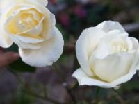 ガーデン冬バラ